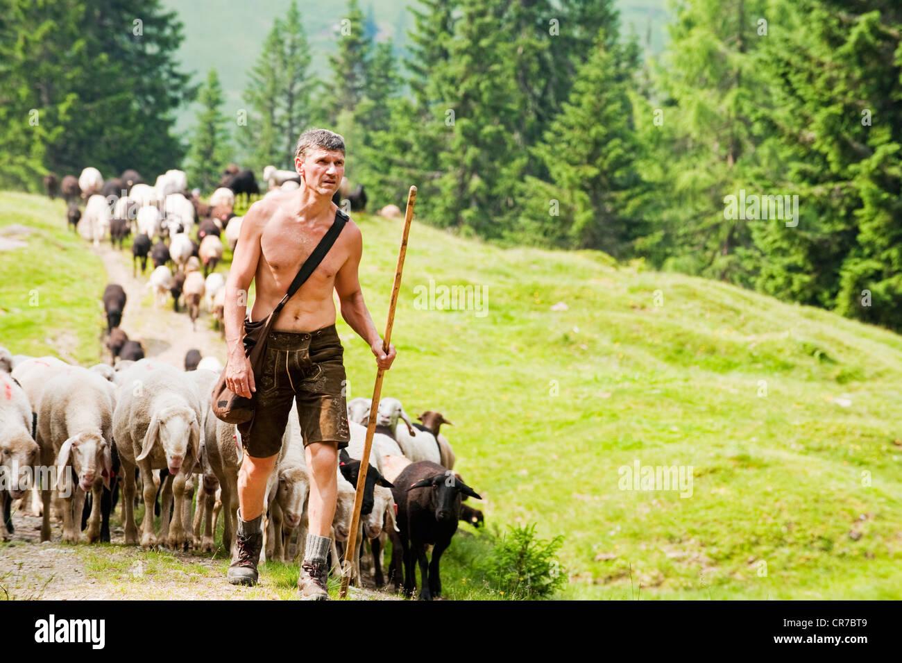 Austria, Salzburg County, Shepherd herding sheep on mountain - Stock Image