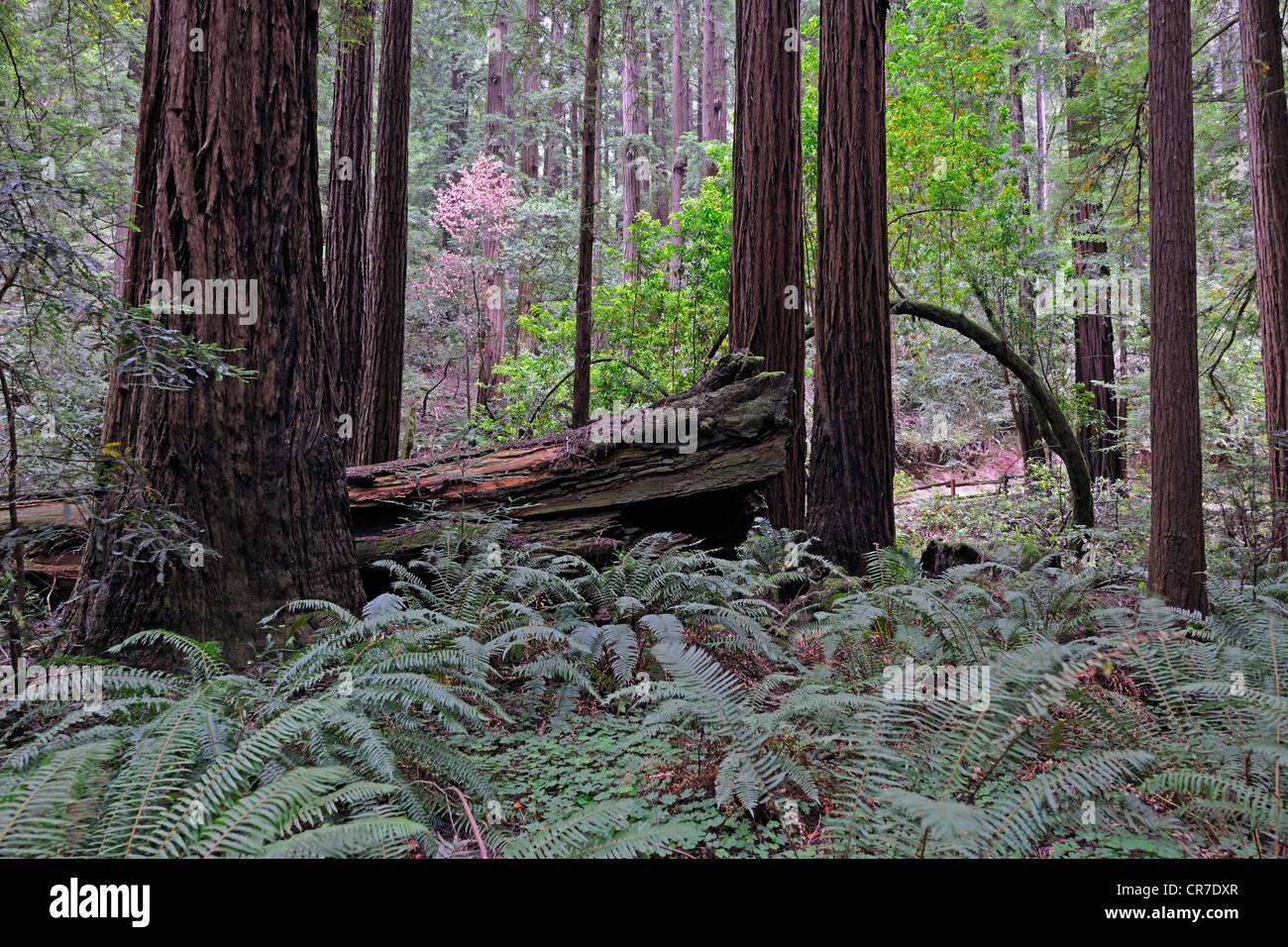 Vegetation and Coast Redwoods (Sequoia sempervirens), Muir Woods National Park, California, USA - Stock Image