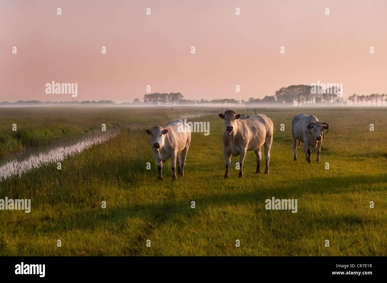 three cows on pasture with fog during early sunrise - Stock Image