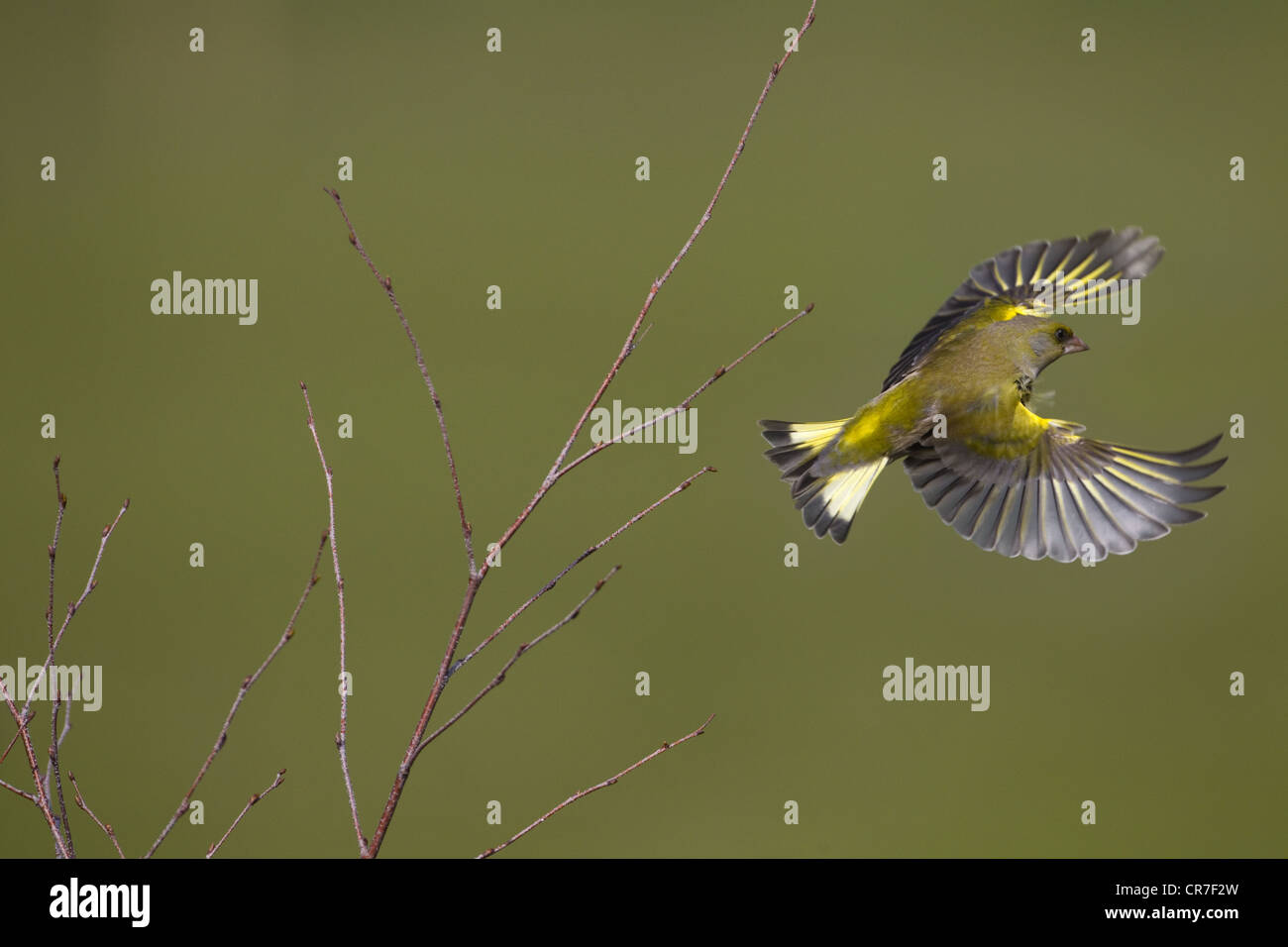 Greenfinch Carduelis chloris in flight from birch scrub Stock Photo