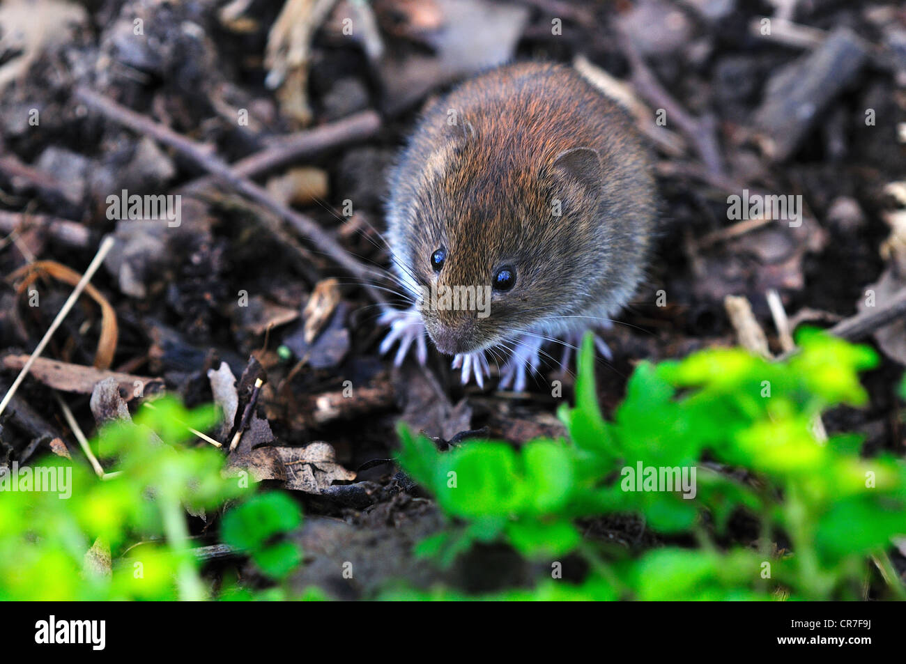 A harvest mouse, a tiny rodent UK - Stock Image