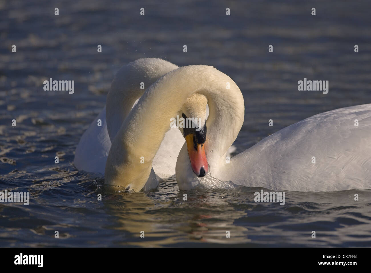 Mute Swans Cygnus olor courtship display in spring Stock Photo