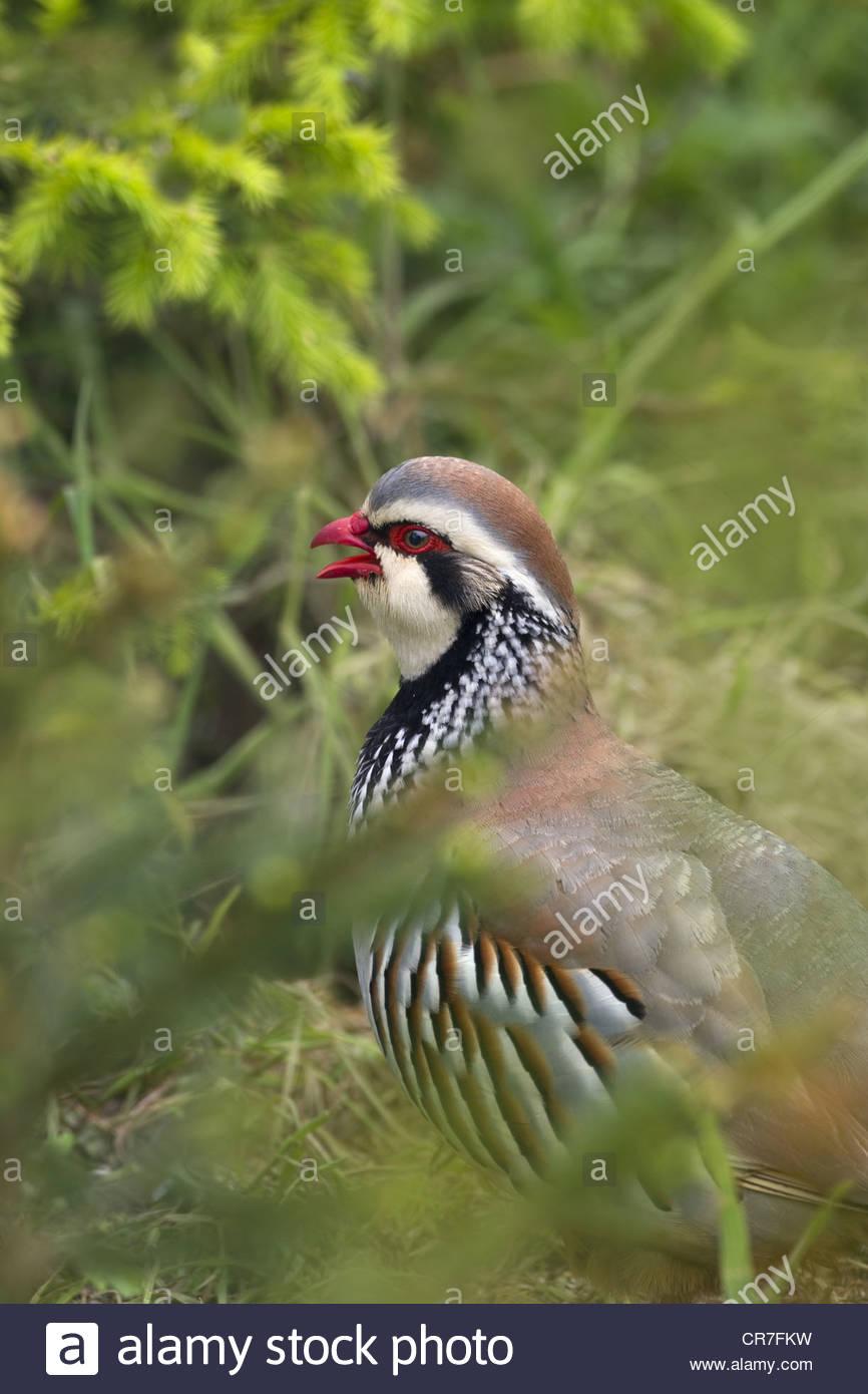 Red-legged Partridge Alectoris rufa feeding in meadow - Stock Image