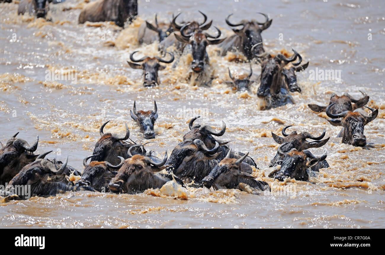 Great Migration, Blue Wildebeest (Connochaetes taurinus), gnus crossing the Mara River, Masai Mara, Kenya, Africa - Stock Image