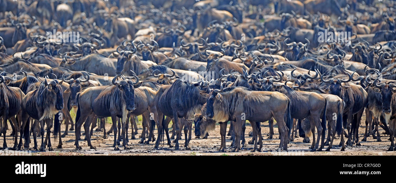 Great Migration, Blue Wildebeest (Connochaetes taurinus), gnus jostling on the shore of Mara River, Masai Mara, Stock Photo