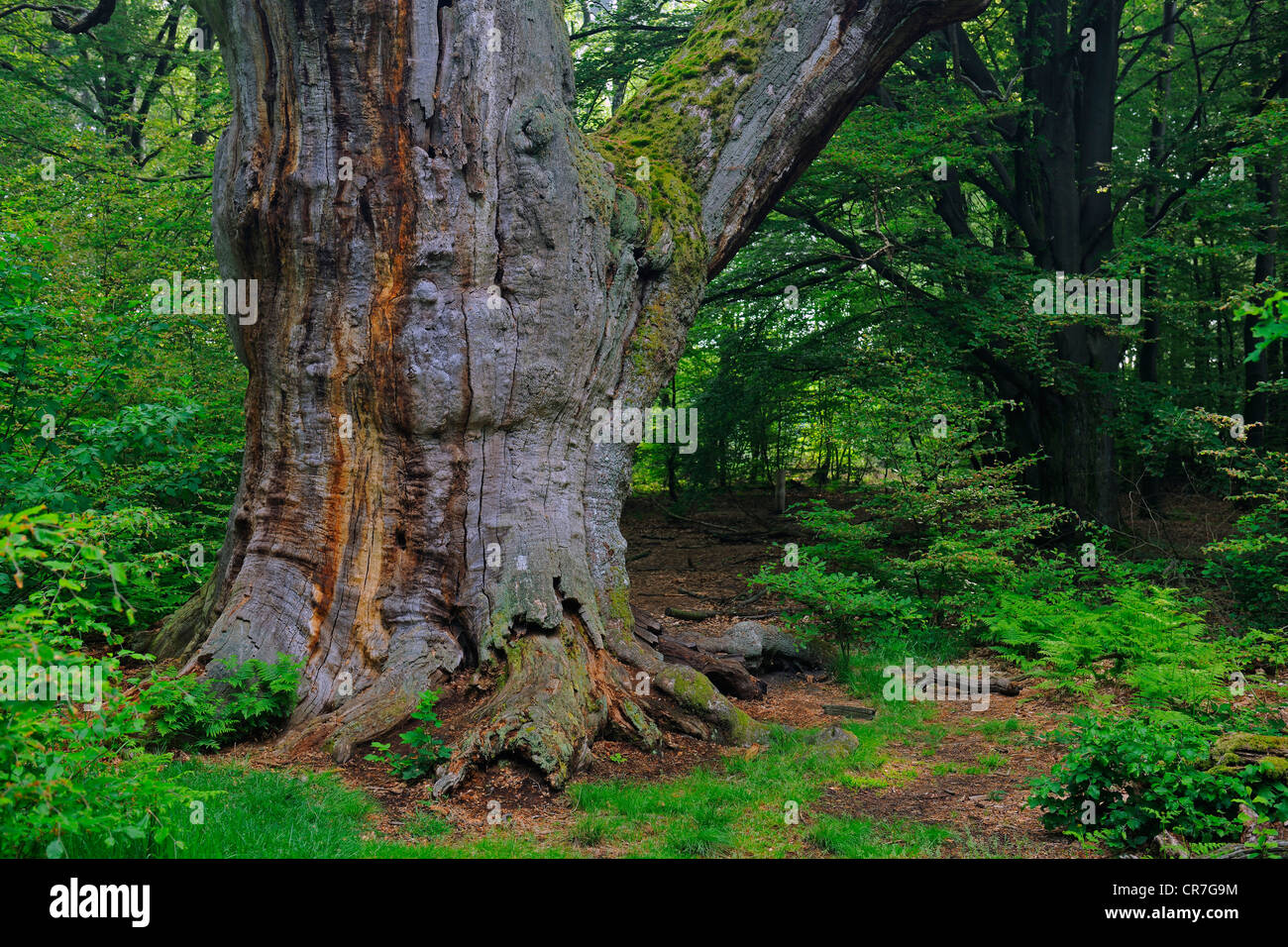 Ca. 800 year old beech (Fagus), Urwald Sababurg nature reserve, Hesse, Germany, Europe - Stock Image