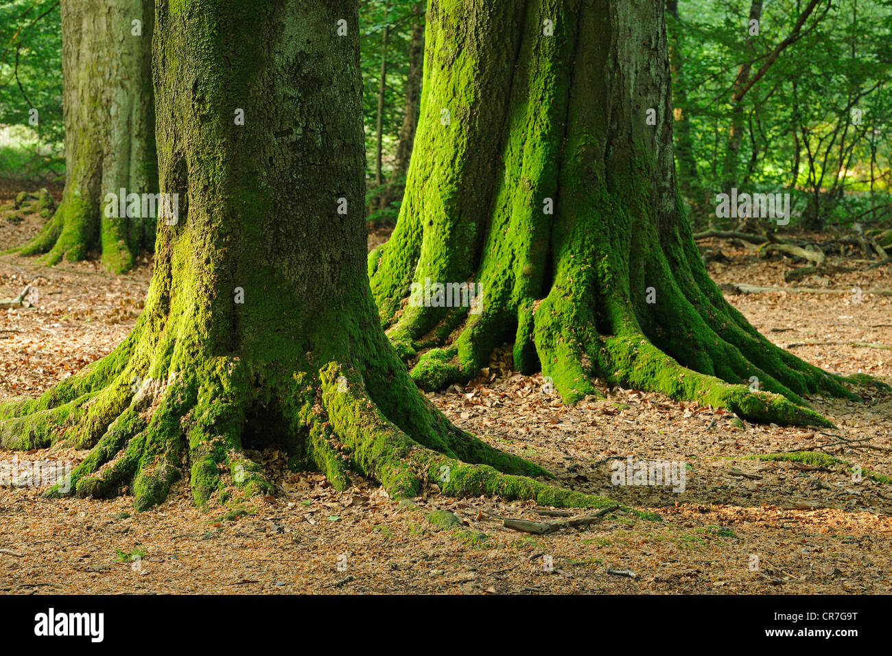 Moss-covered trunks of old beeches (Fagus), Urwald Sababurg nature reserve, Hesse, Germany, Europe - Stock Image