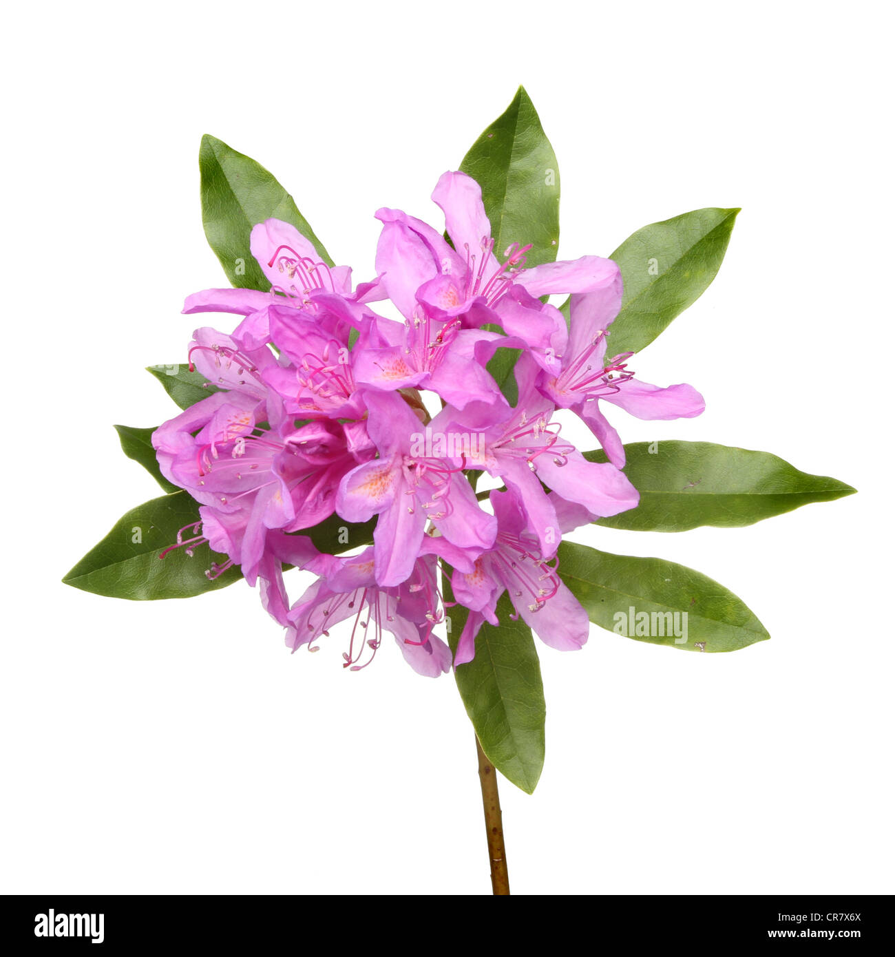 Rhododendron ponticum purple flowers and leaves isolated against white - Stock Image