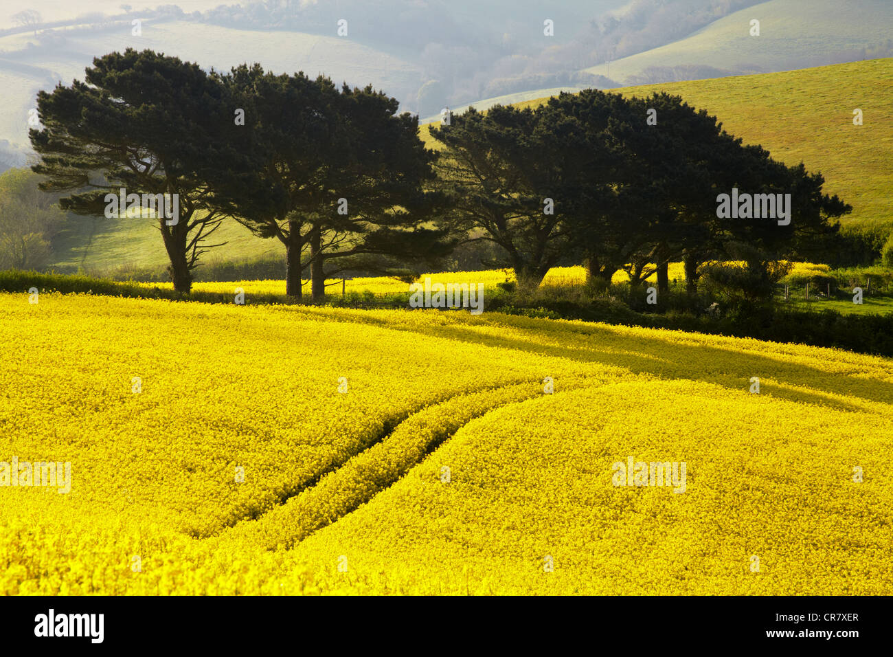 Rapeseed crop in the Devon countryside - Stock Image