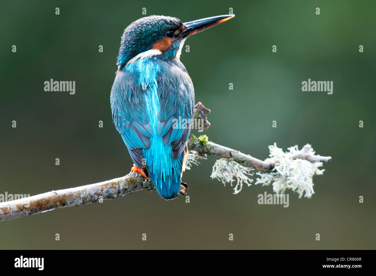 female kingfisher standing on a twig looking right - Stock Image