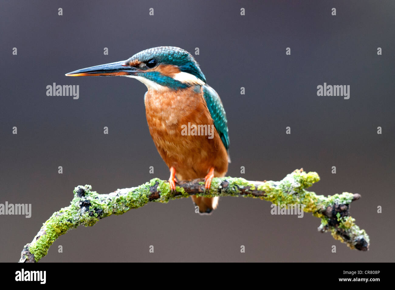 female kingfisher sitting on a twig looking left - Stock Image