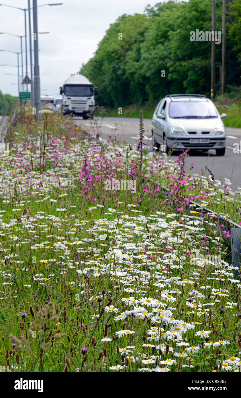 Wild flowers growing by the roadside near Truro, in Cornwall, UK - Stock Image