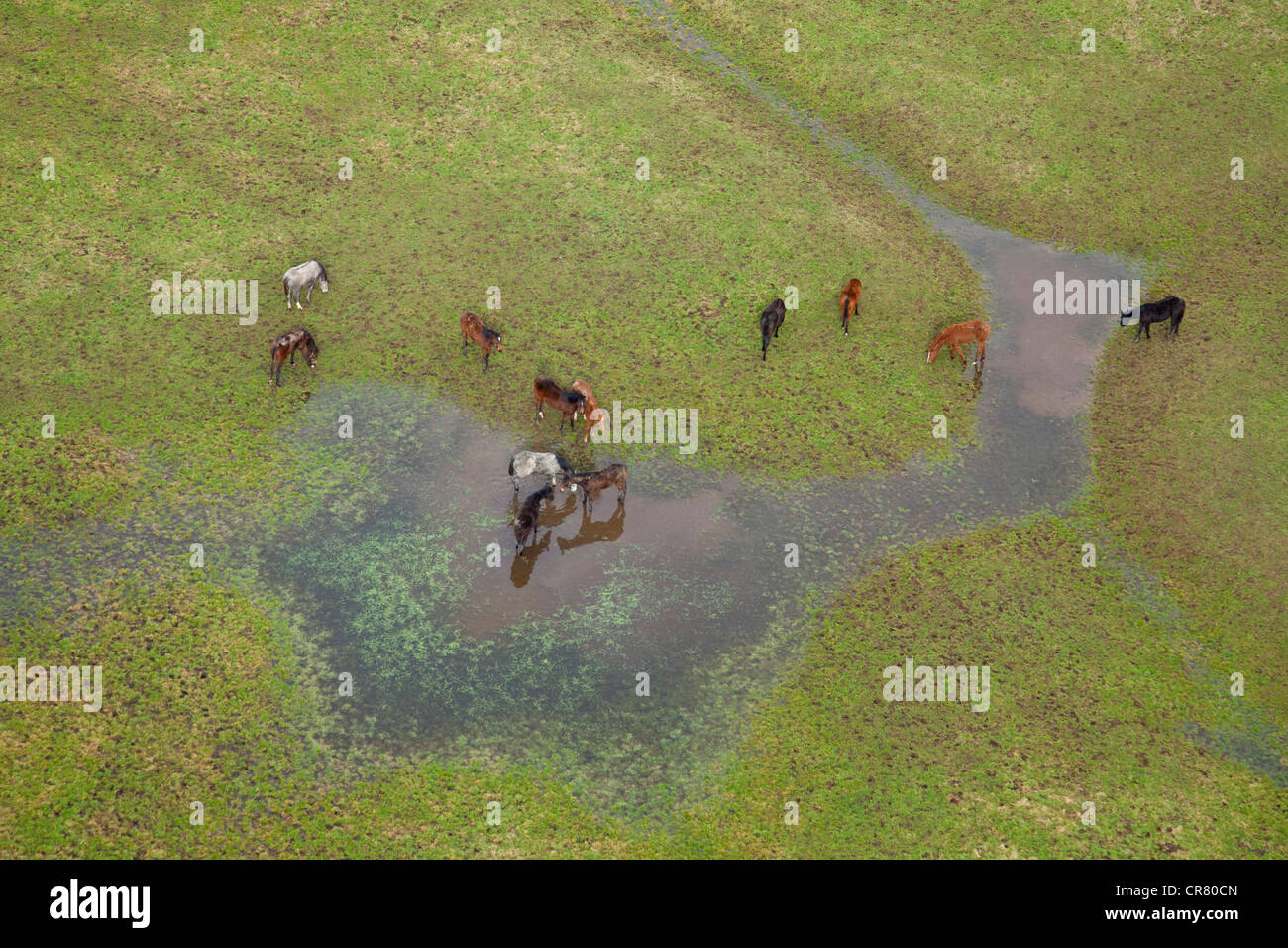 France, Calvados, Victot Pontfol, horses in pastures flooded after Xynthia storm (aerial view) - Stock Image