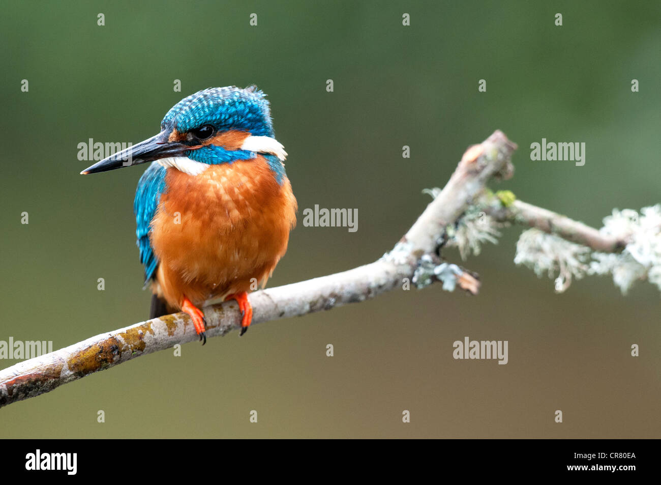 male kingfisher sitting on a twig looking left - Stock Image