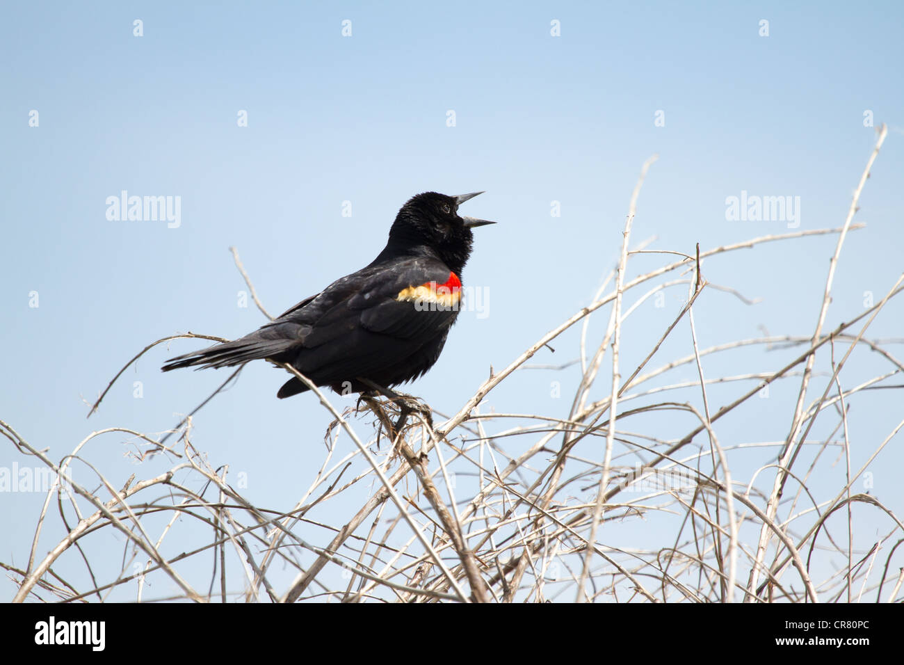 A male red-winged blackbird sings out loud in Arlington, TX. - Stock Image