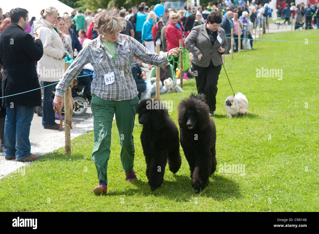 Cornwall, England, UK - Royal Cornwall Show, woman exhibiting two adult poodles at  a dog exhibition. - Stock Image