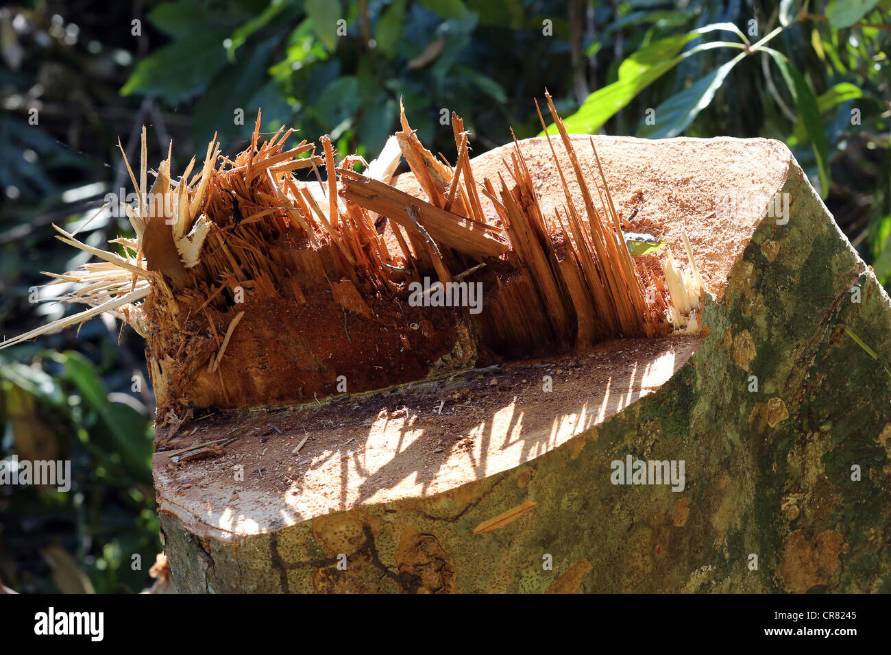 Deforestation, stump of a felled tree in a log clearing area, Papua New Guinea - Stock Image
