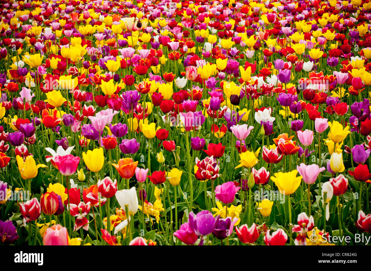 Spring tulip flowers in bloom at the Wooden Shoe Tulip Farm in Woodburn, Oregon - Stock Image
