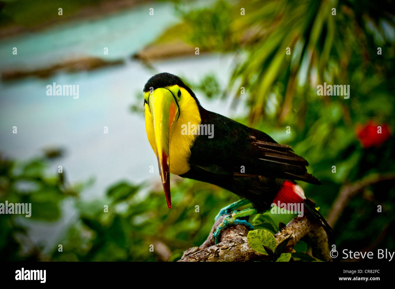 The Keel-Billed Toucan is a majestic site in the tropical forest of the riviera maya, Yucatan Penisula,Quintana - Stock Image