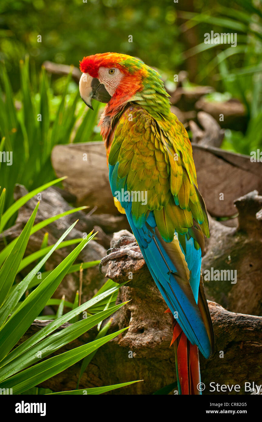 The majestic Verde Macaw bird amongst the lush forest of the Riviera Maya, Yucatan Penisula, Quintana, Roo, Mexico - Stock Image