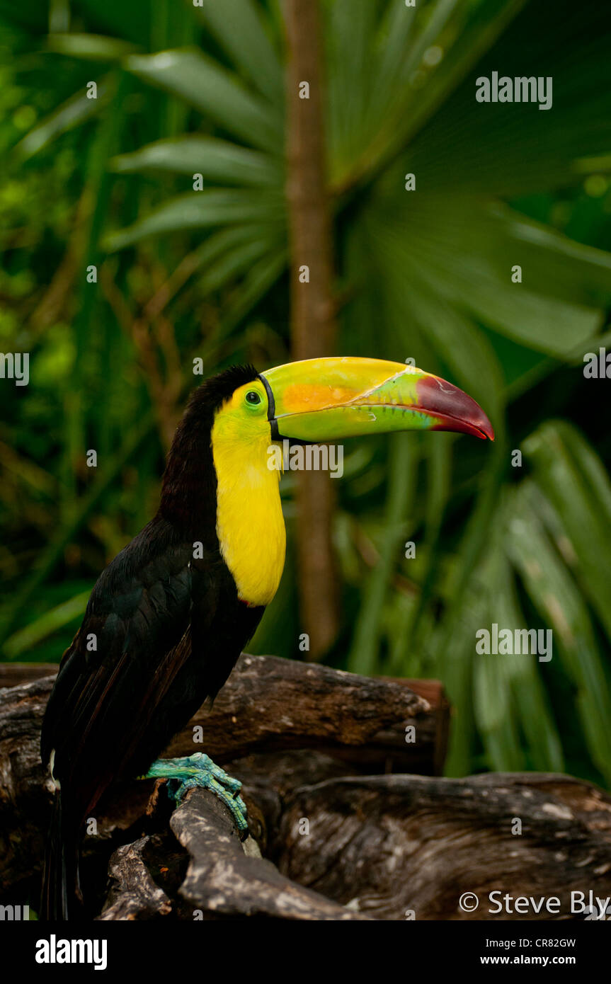 The Keel-Billed Toucan is a majestic site amongst the lavish forest of the Yucatan Penisula. Riviera Maya, Quintana - Stock Image