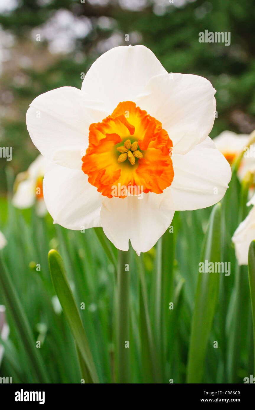 A Narcissus 'Trident', aka small cupped daffodil. - Stock Image