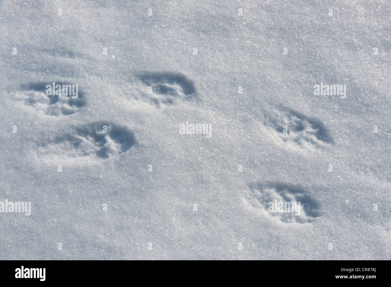 Fisher (Martes pennanti) Fresh tracks in snow, Greater Sudbury (Lively), Ontario, Canada - Stock Image