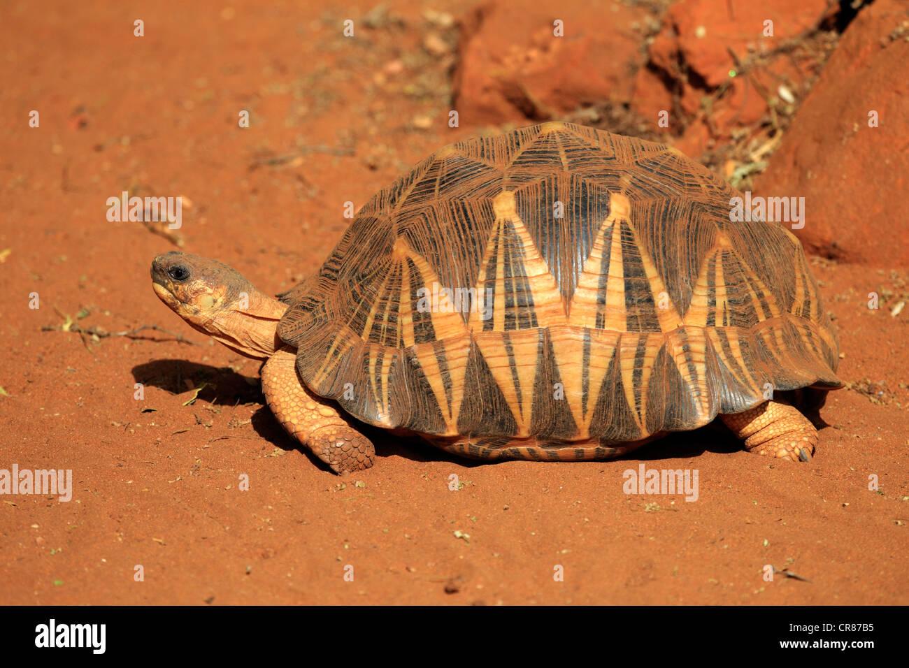 Madagascan Radiated Tortoise (Geochelone radiata), Berenty Reserve, Madagascar, Africa - Stock Image