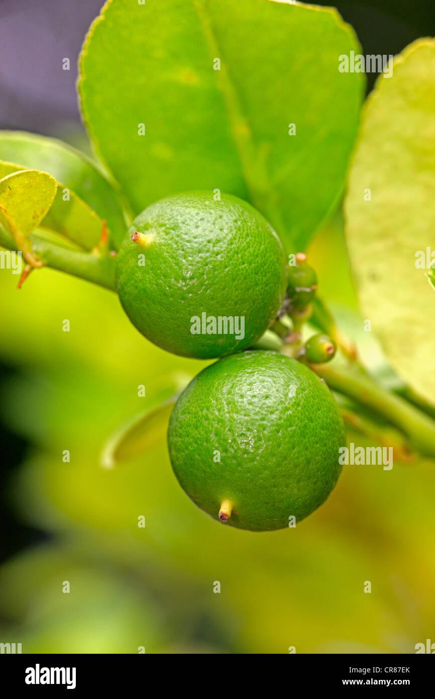 Limes (Citrus latifolia), fruit, Nosy Be, Madagascar, Africa - Stock Image