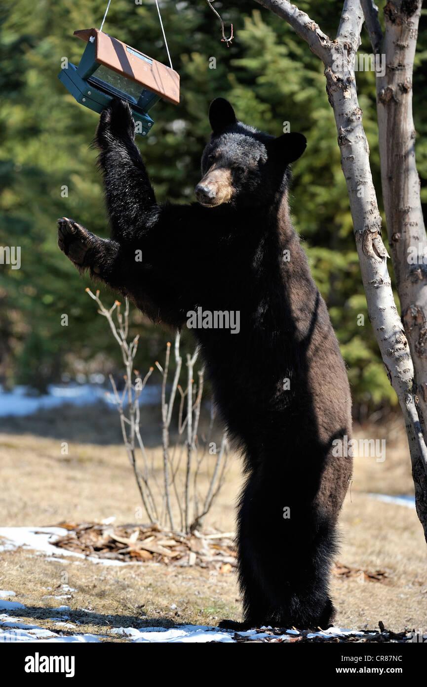 Black bear (Ursus americanus) Feeding on birdseed in back ...