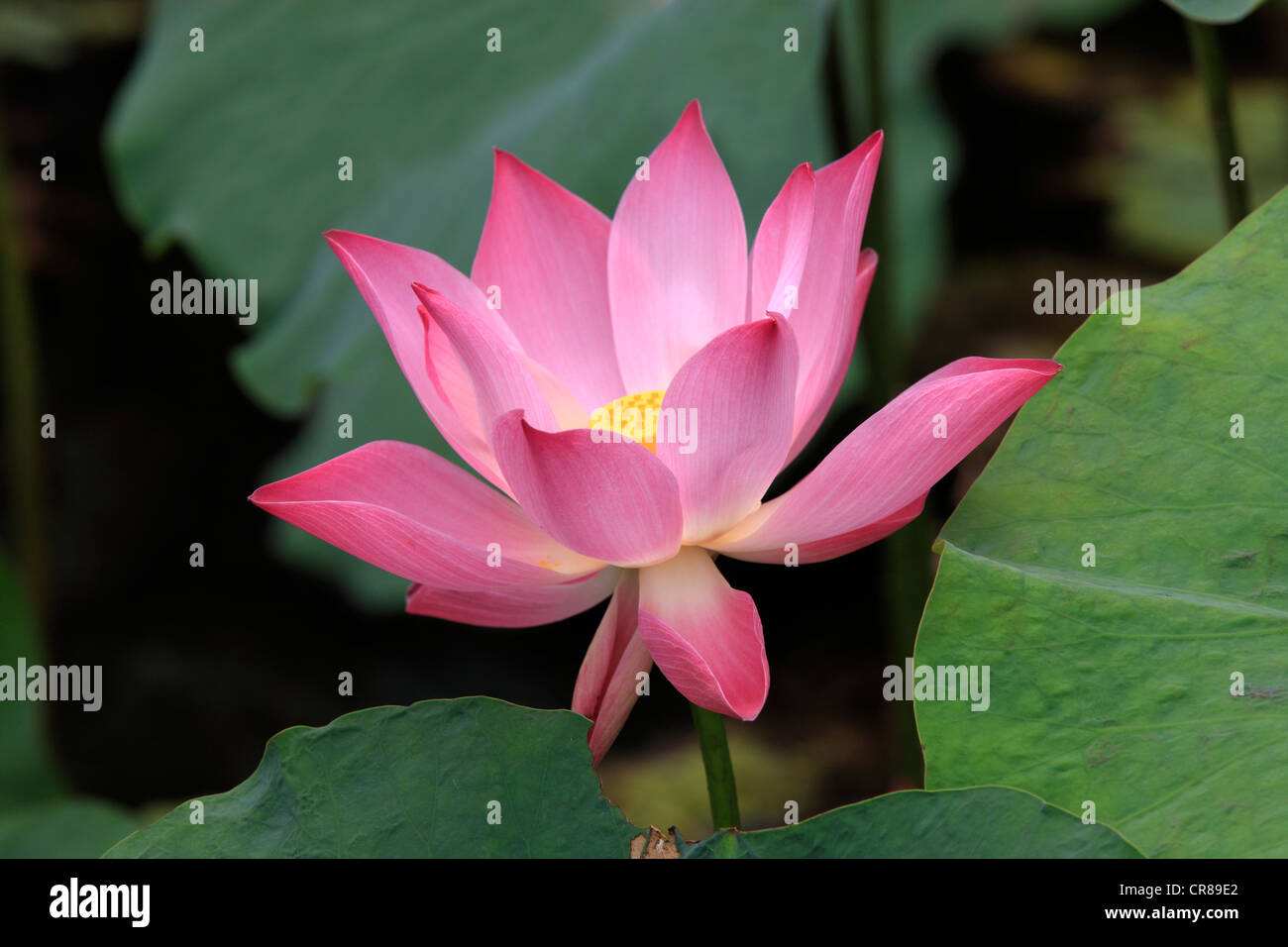 Indian lotus (Nelumbo nucifera), flower, Kota Kinabalu, Sabah, Malaysia, Borneo, Southeast Asia - Stock Image