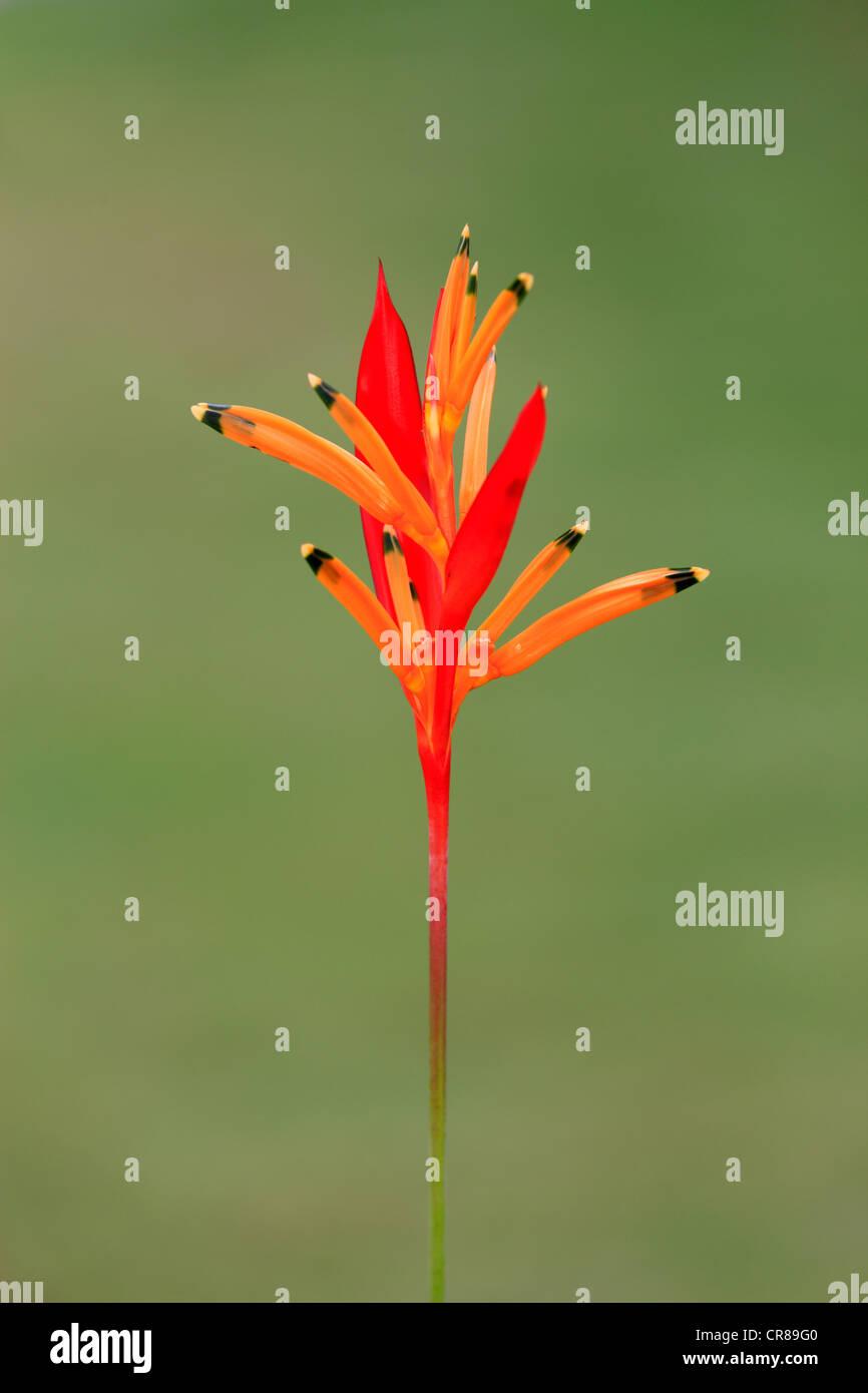 Heliconia (Heliconia psittacorum), flower, Kota Kinabalu, Sabah, Malaysia, Borneo, Southeast Asia - Stock Image