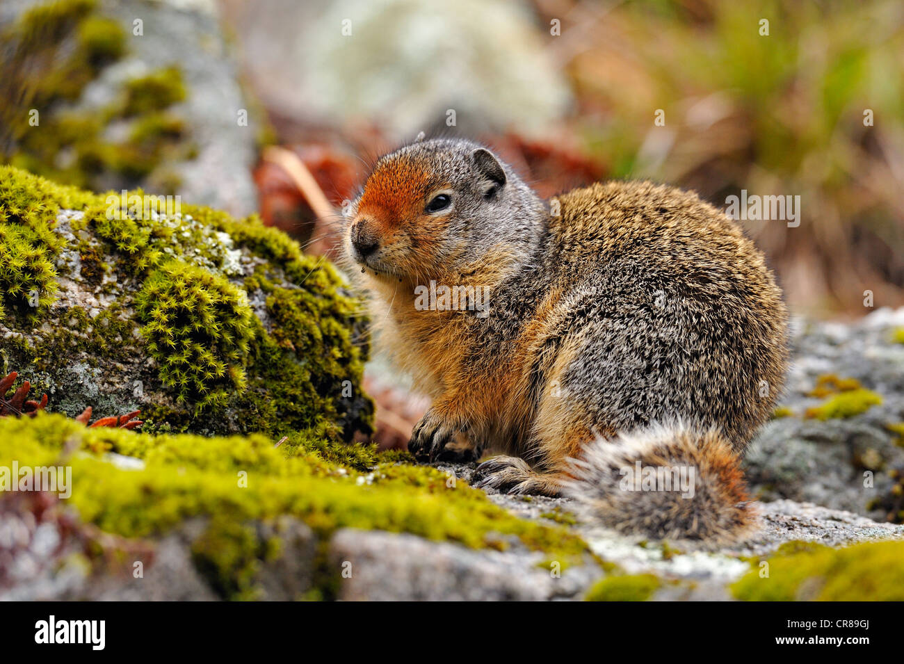Columbia Ground Squirrel (Urocitellus columbianus) Idaho Stock Photo