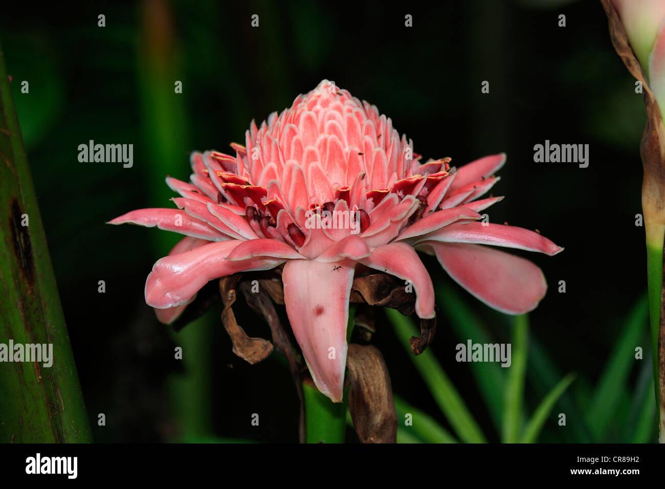 Etlingera, Kota Kinabalu, Sabah, Malaysia, Borneo, Southeast Asia - Stock Image