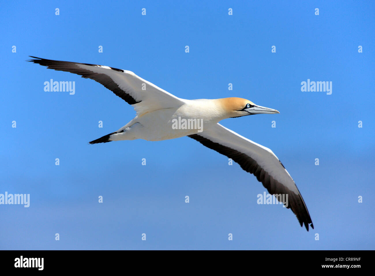 Cape Gannet (Morus capensis) in flight, Lambert's Bay, South Africa, Africa - Stock Image