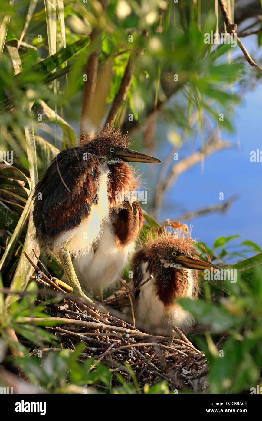 Tricolored Heron (Egretta tricolor), young birds in nest, Florida, USA, America - Stock Image