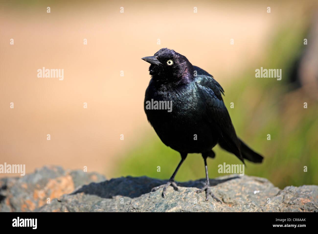 Brewer's blackbird (Euphagus cyanocephalus), adult, California, USA - Stock Image