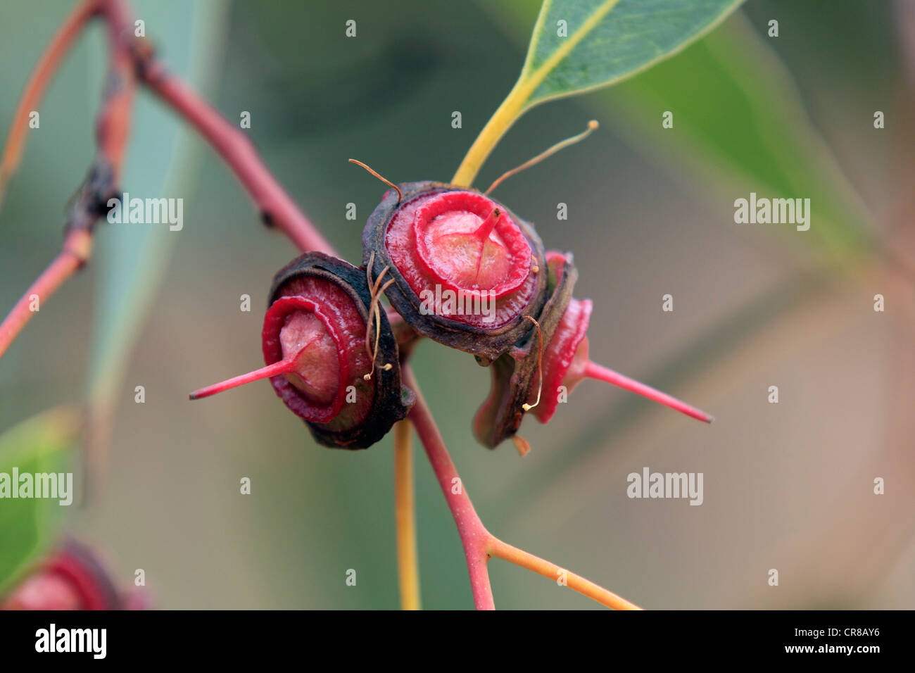 Eucalyptus tree (Eucalyptus pachyphylla), fruit, Outback, Alice Springs, Northern Territory, Australia - Stock Image