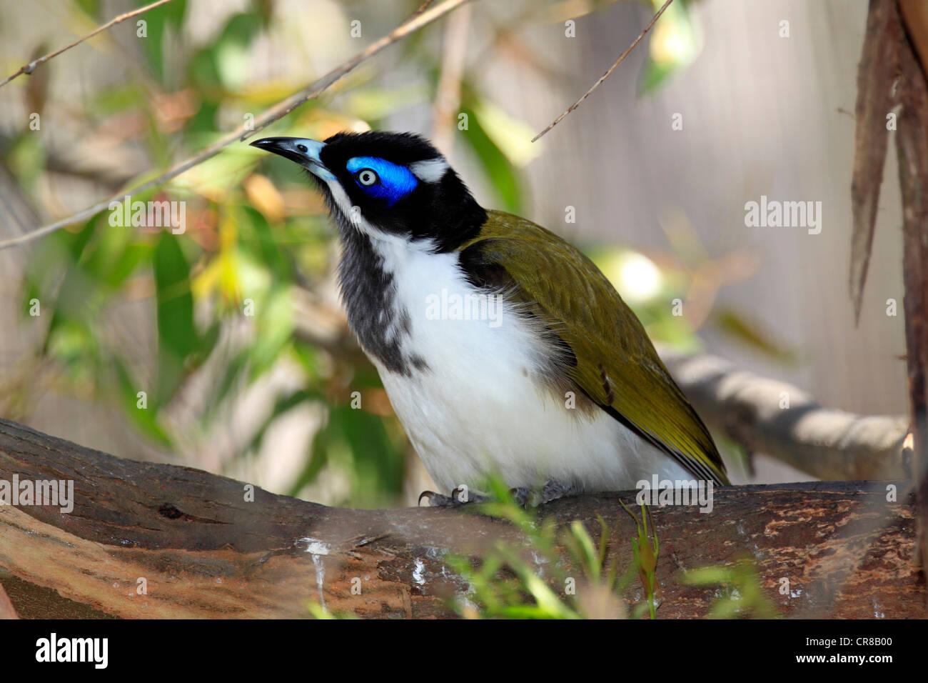 Blue -faced Honeyeater or Bananabird (Entomyzon cyanotis), Outback, Northern Territory, Australia - Stock Image