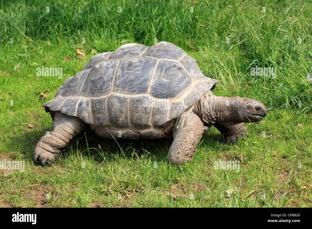 Aldabra giant tortoise (Testudo gigantea, Geochelone gigantea), foraging - Stock Image