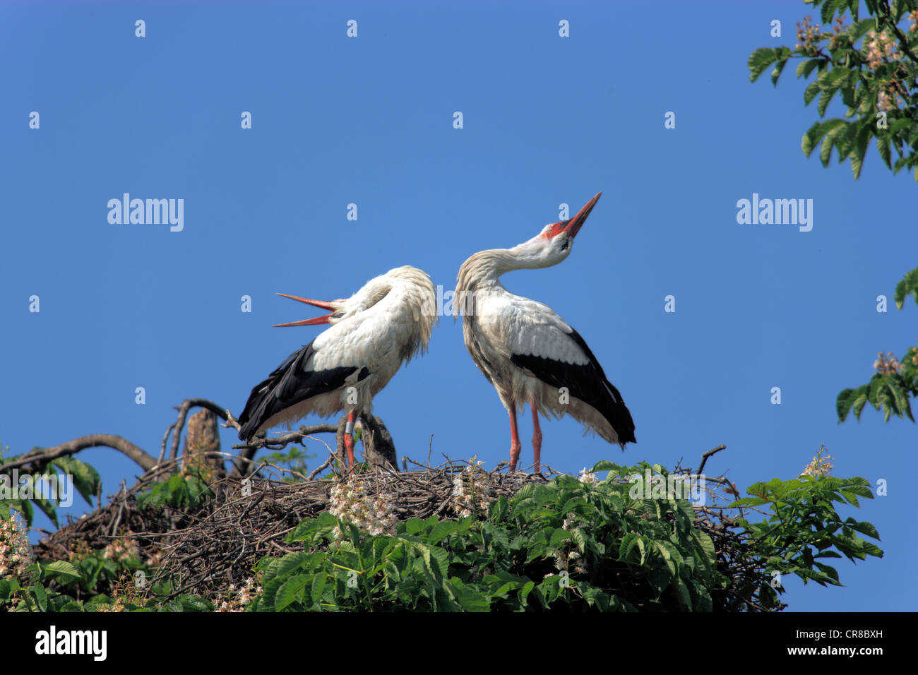 White Storks (Ciconia ciconia), pair clapping their beaks in a nest in a chestnut tree, Mannheim, Baden-Wuerttemberg - Stock Image