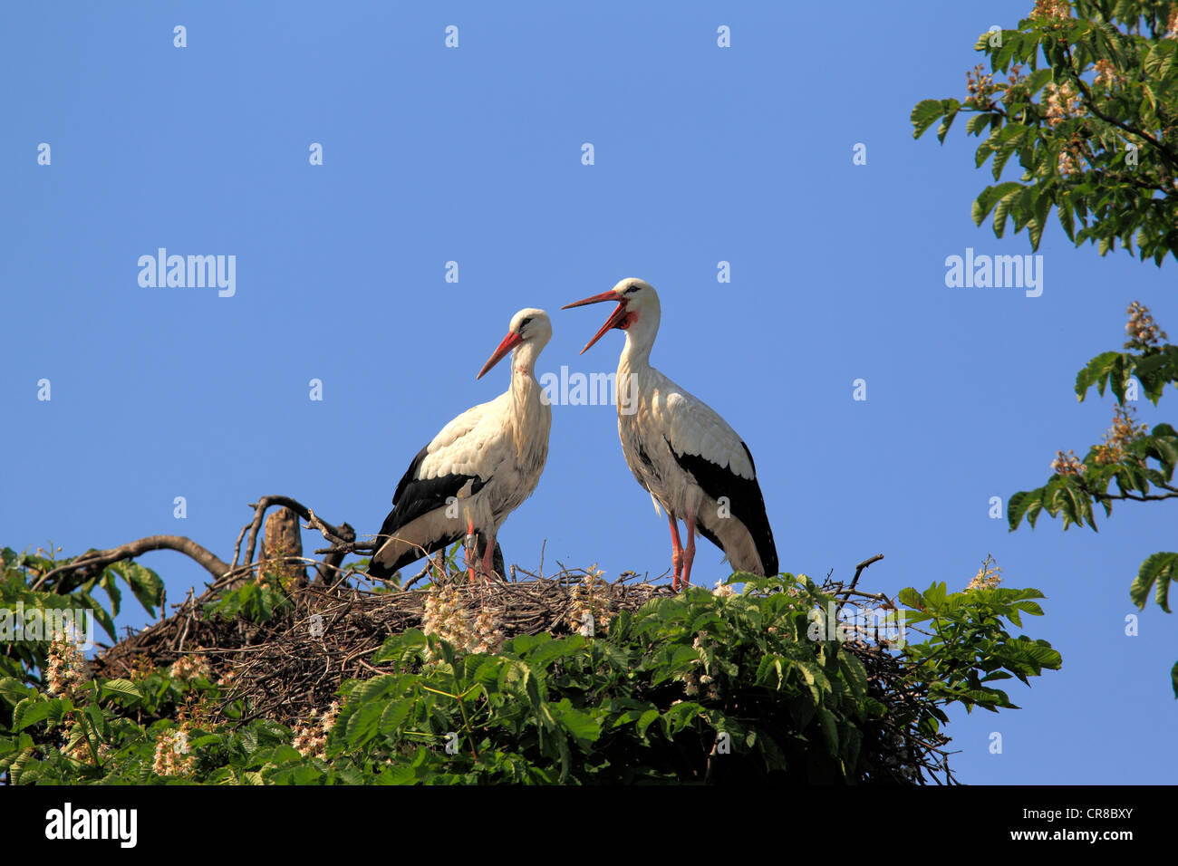 White Storks (Ciconia ciconia), pair on a nest in a chestnut tree, Mannheim, Baden-Wuerttemberg, Germany, Europe - Stock Image