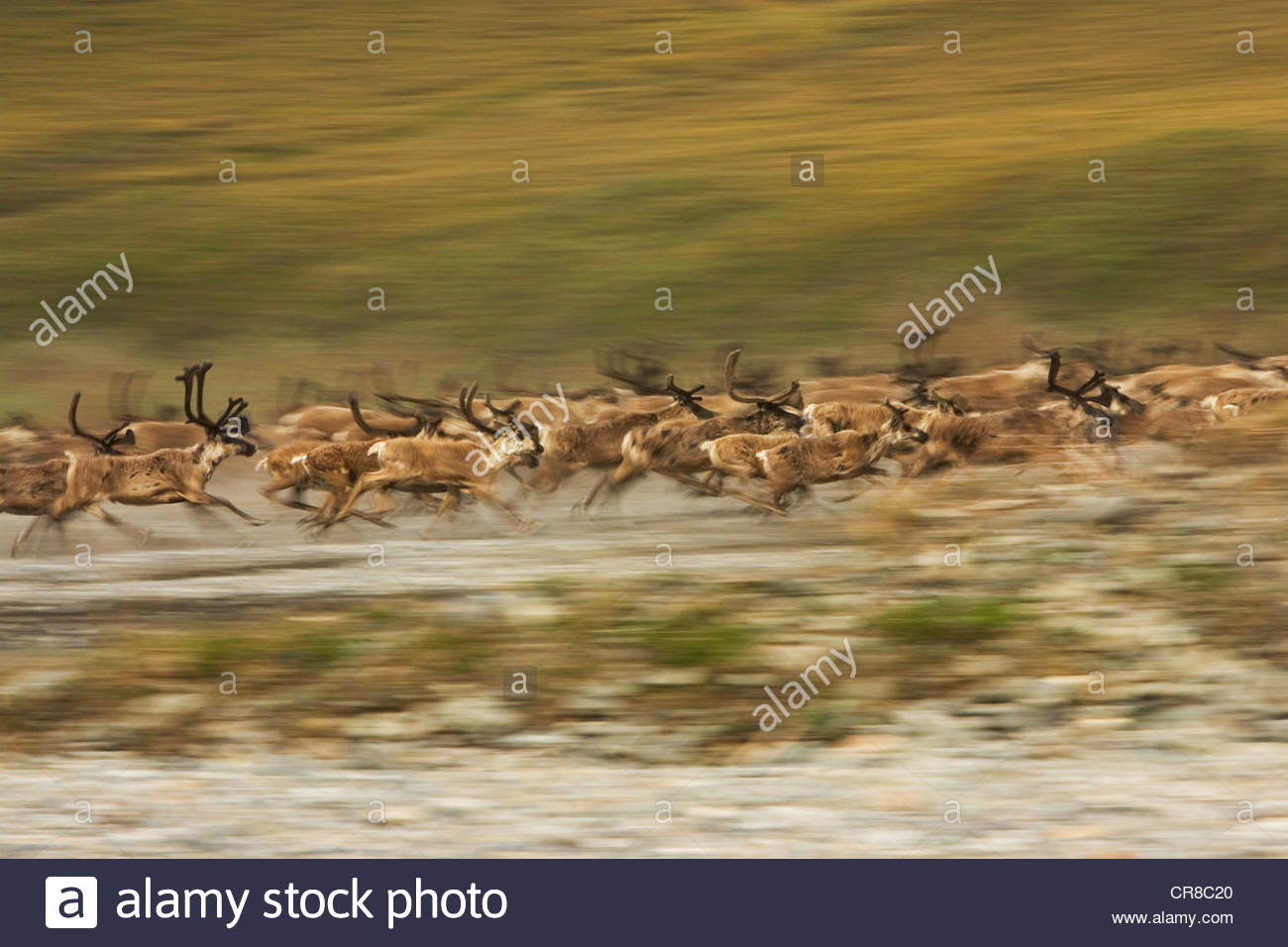 Startled by the sudden appearance of a grey wolf, a caribou herd instinctively reacts. - Stock Image
