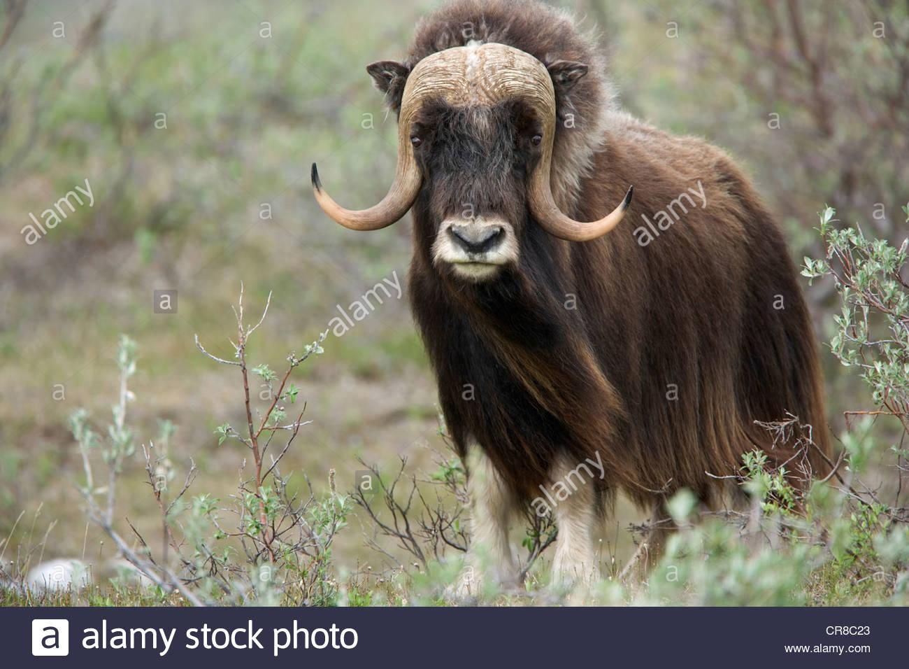 Alaska muskoxen - Stock Image