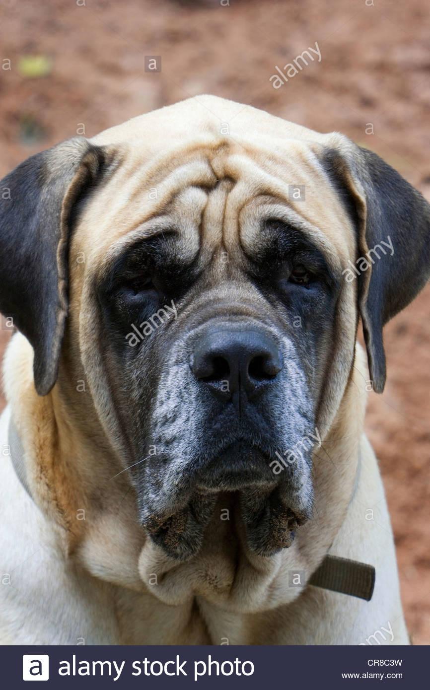 Portrait of a dog in Bahia, Brazil. - Stock Image
