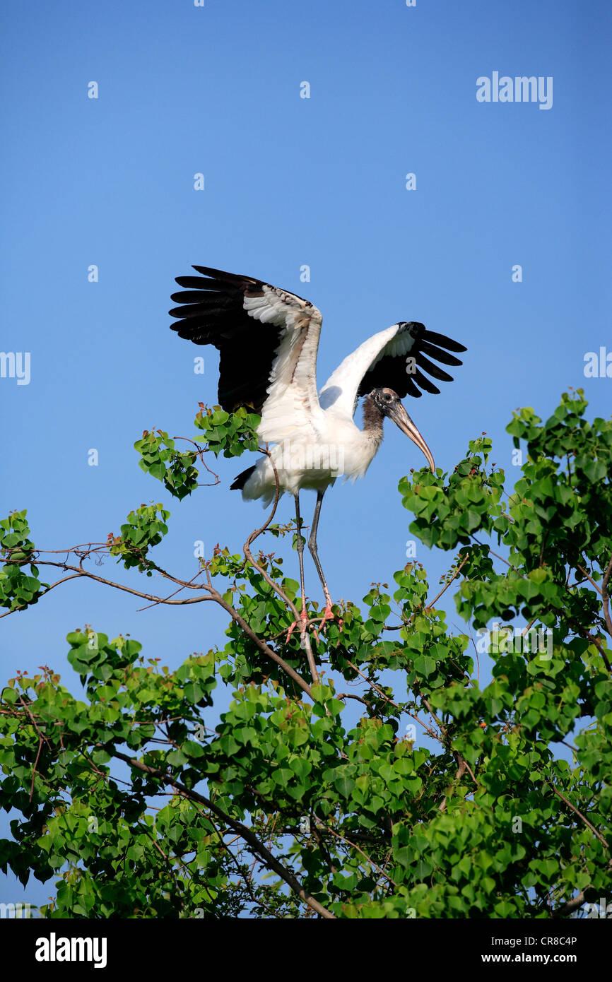 Wood stork (Mycteria americana), adult on tree, spreading wings, Florida, USA - Stock Image