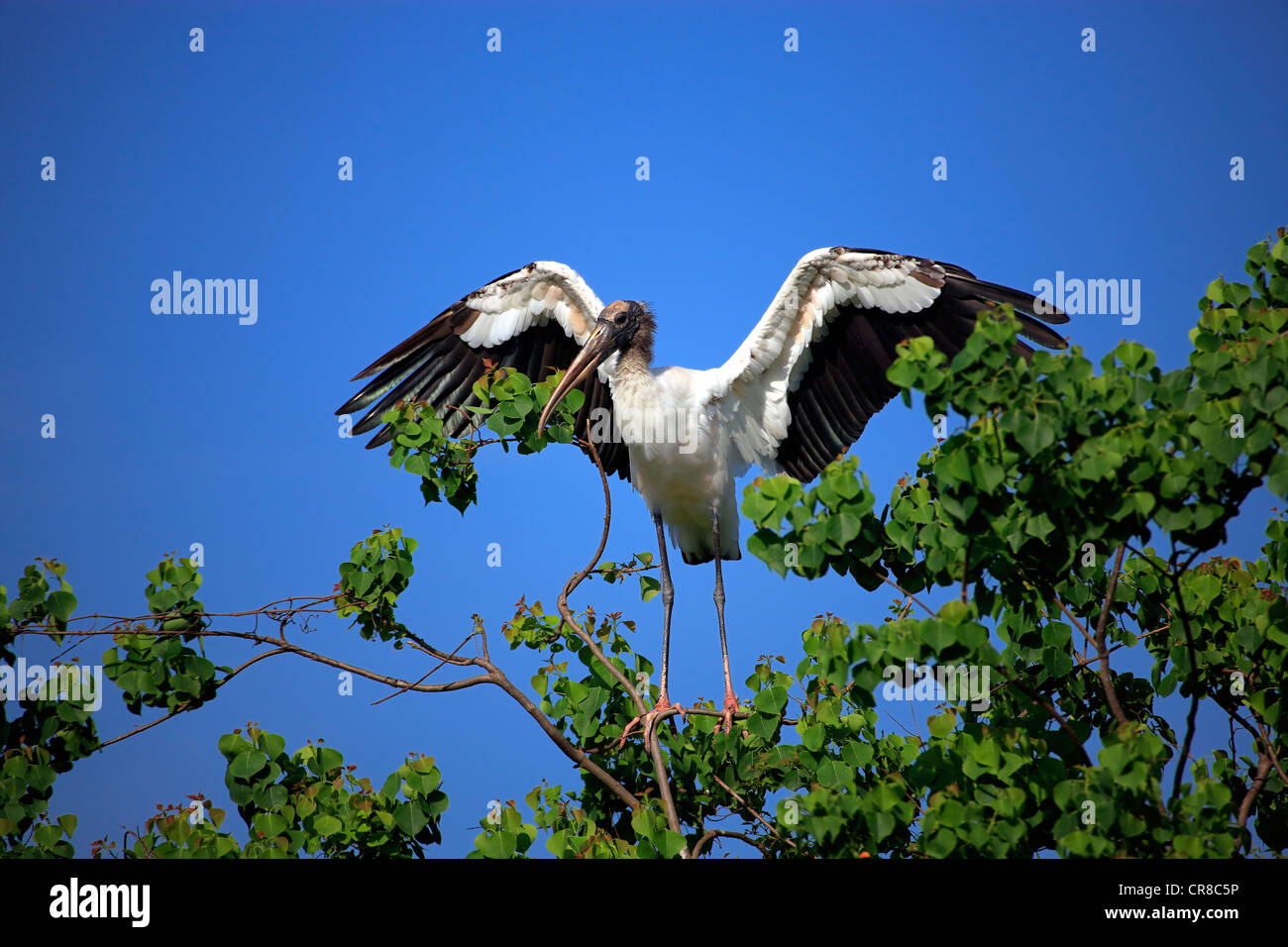 Wood stork (Mycteria americana), adult on tree, spreading wings, with nesting material, Florida, USA - Stock Image
