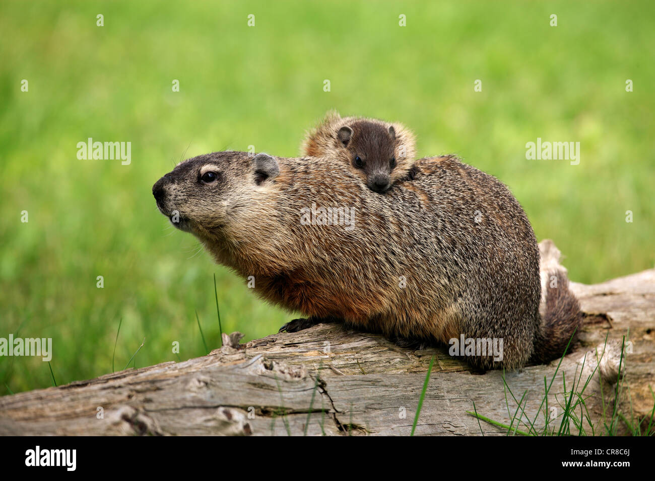 Groundhog, Woodchuck (Marmota monax), mother with young, social behavior, Minnesota, USA - Stock Image