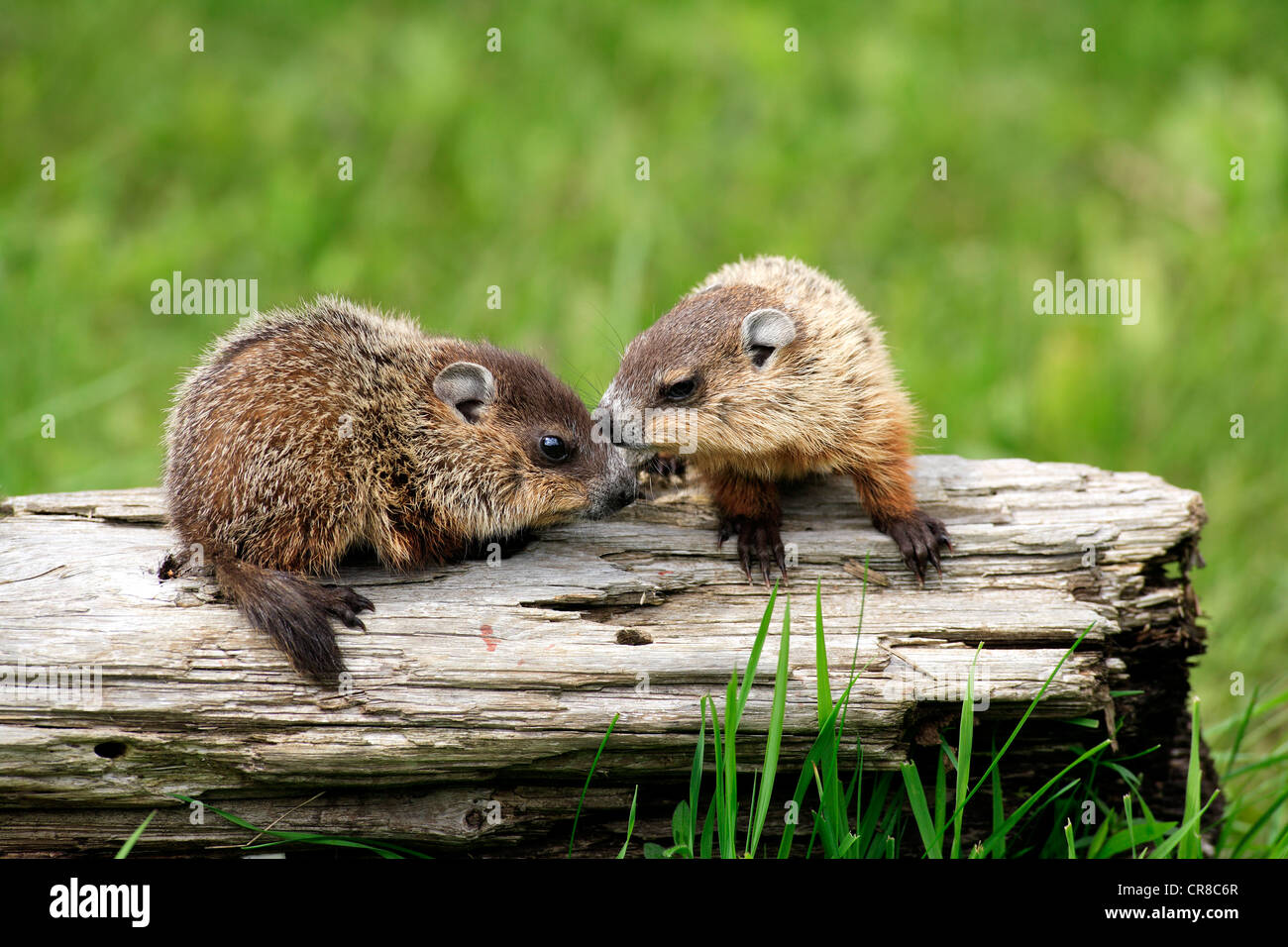 Groundhogs or Woodchucks (Marmota monax), two juveniles, siblings, social behavior, Minnesota, USA - Stock Image