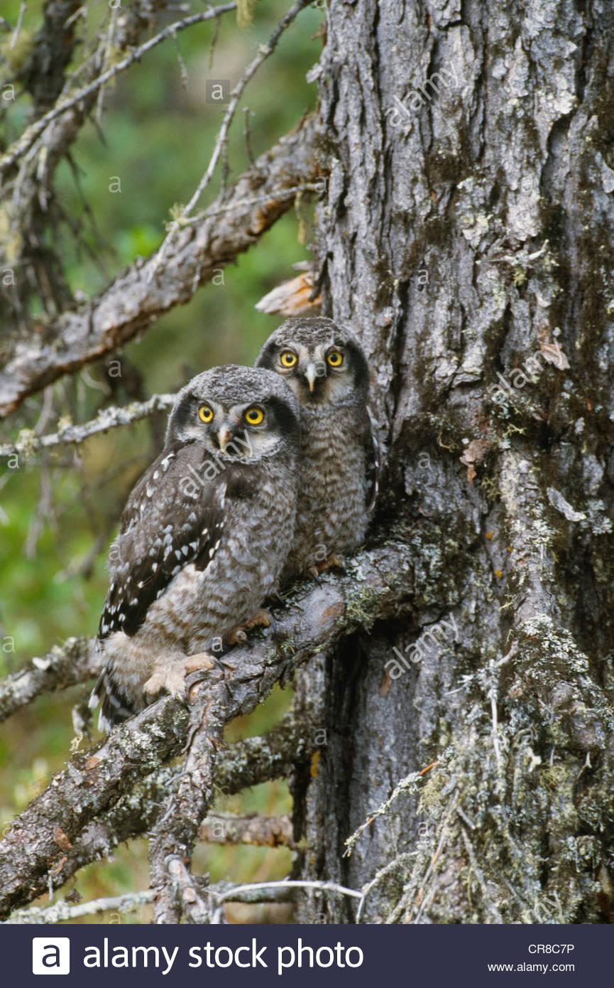 Hawk owls, Yellowknife region, Northwest Territories, Canada - Stock Image
